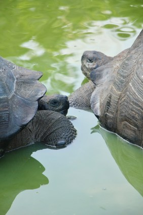Giant land tortoises on Santa Cruz Island, Galapagos