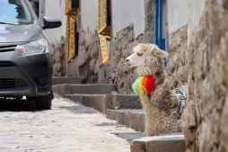 Llama relaxing on the sidewalk in Cuzco, Peru