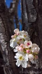 Apple bloom in Flagstaff