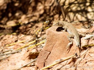 Common Side-blotched Lizard (Uta stansburiana) with missing tail