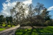 Old silver birch (petula bendula)