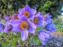 The pasque flower (pulsatilla vulgaris)