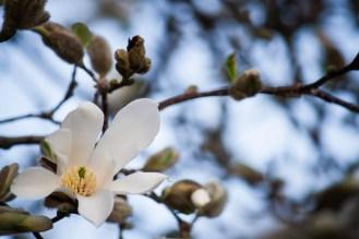 daffodils-flowers-10