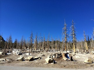 Tree-kills of Mammoth mountain
