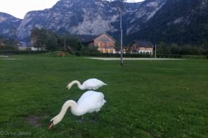 Swans grazing in Obertraun