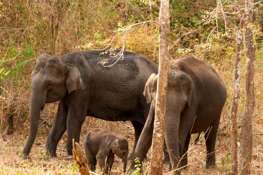 Female elephants and a calf