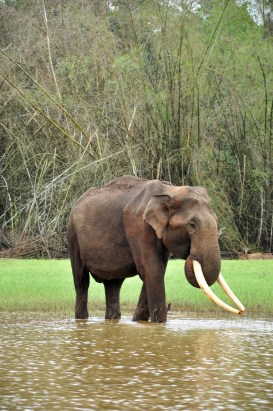 Wild Indian tusker