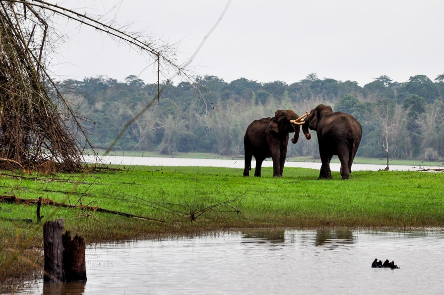 Friendly brush between two bull elephants