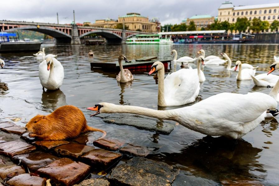 Nutria vs Swan