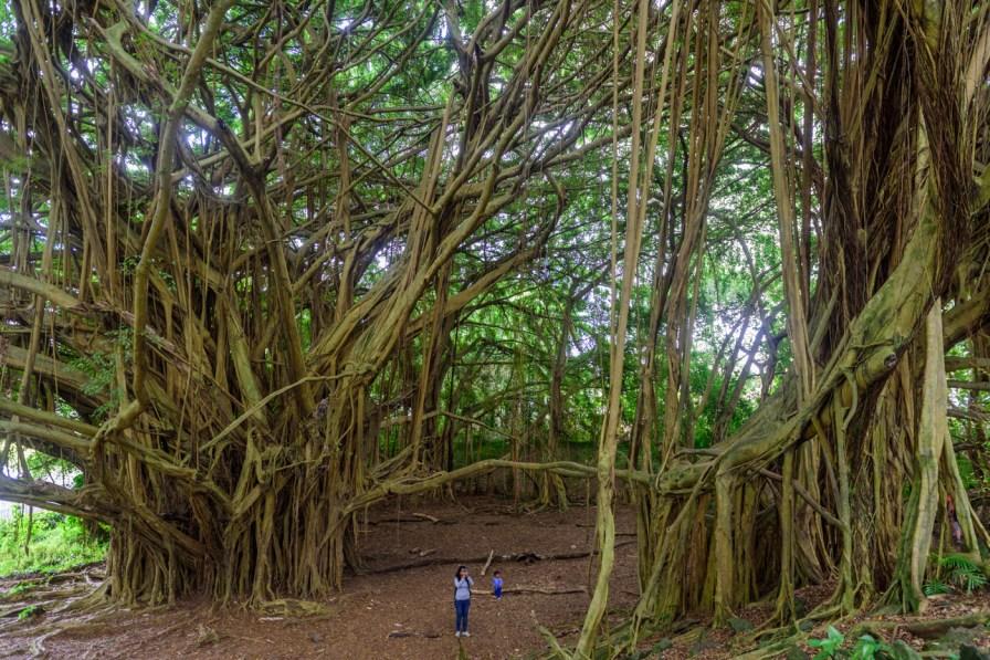 Big Banayan tree near Rainbow falls