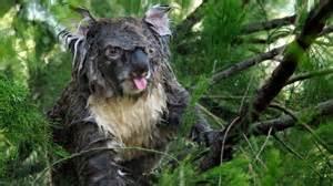 koala muddy angry