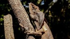 Frilled Neck Lizards (foto: Anna Luciani)