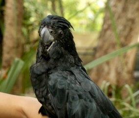 Black Cockatoo (foto: Simone Chiesa)