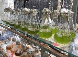 alghe microscopiche coltivate per nutrire i pesci dell'acquario. Diverse concentrazioni per soddisfare il fabbisogno di pesci di età diversa. (foto: Anna Luciani)