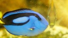 Doris. Paracanthurus hepatus Bleeker, comunemente conosciuto come pesce chirurgo blu, è un pesce d'acqua marina appartenente alla famigliaAcanthuridae. È l'unica specie del genere Paracanthurus. Aquasearch Aquarium (foto: Anna Luciani)