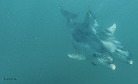 Delfini nella Baia di Port Phillip (foto: Anna Luciani)