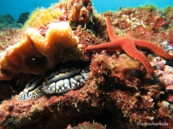 Phyllidia-varicosa-and-Fromia-indica-(Indian-Seastar)