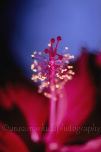 hibiscus_film