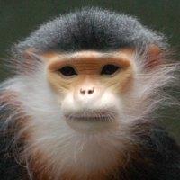 Vietnam: Endangered Langur Brutally Tortured and Killed 'for Fun'