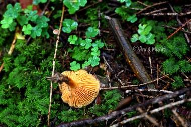 chanterelle look alike - the lamelles I think I found my shroom . It's a Hygrophoropsis aurantiaca