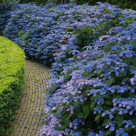 Gardening Express Hydrangea serrata Veerle - Hardy Japanese Lacecap Hydrangea