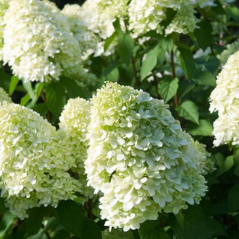 Thompson & Morgan hydrangea paniculata 'Limelight'