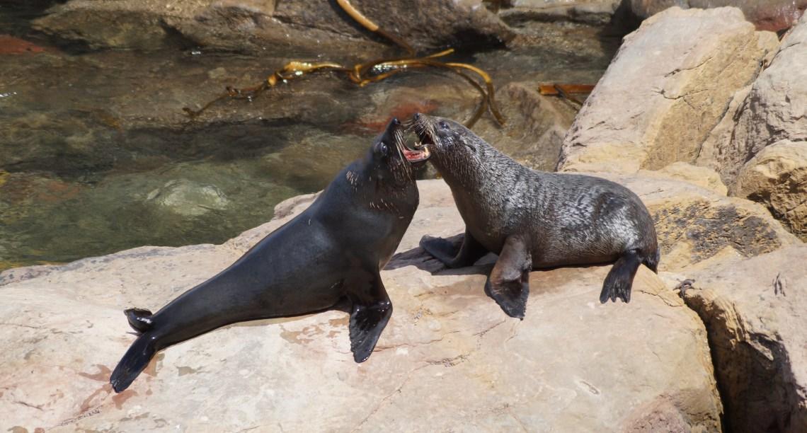 Zwei Robben fauchen sich an
