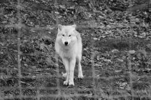Wolf // Loup