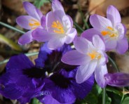 How glad we gardeners are to see the first crocuses of spring