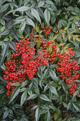 Red berries and cascading evergreen foliage last all winter