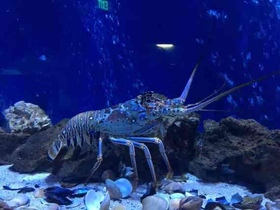 Sea Life Michigan Aquarium - Lobster