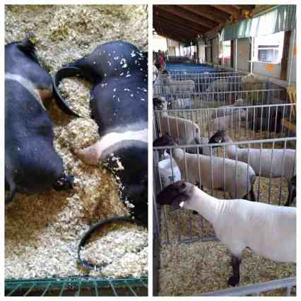 4-h-county-fair-pig and sheep