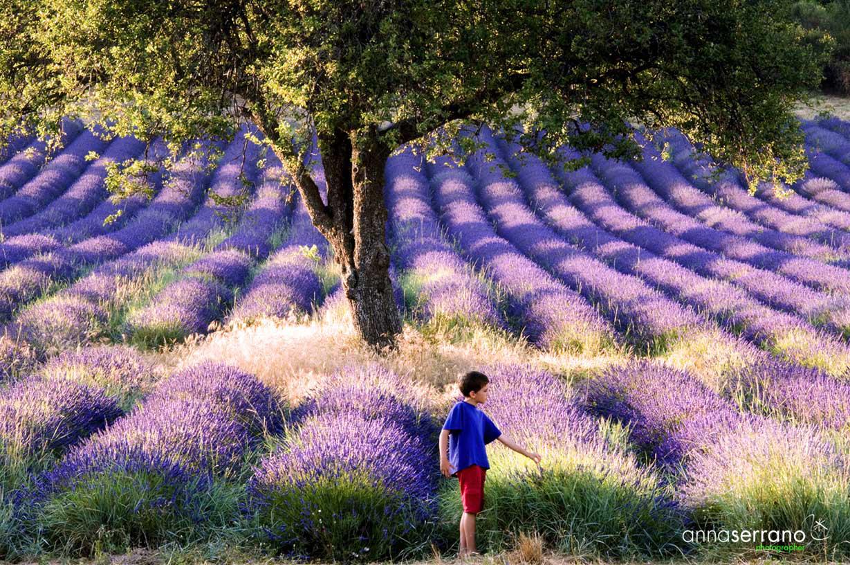 Lavender - Sault - Vaucluse - Provence - France