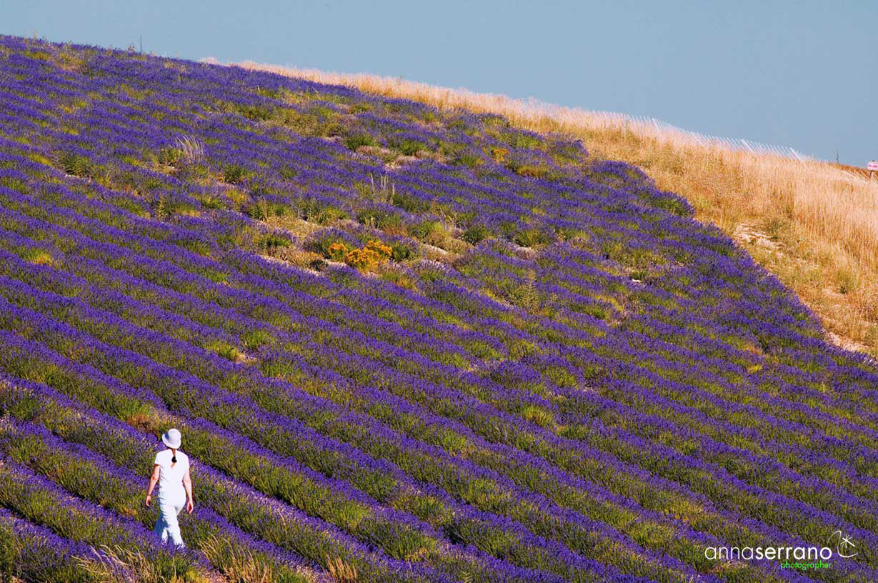 Lavender in Ferrassières - Drôme - Provence - France