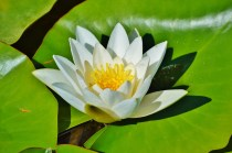water-lily-2392859_1280