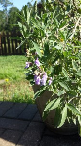 Sage plant in bloom