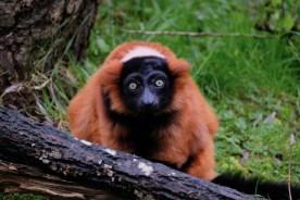 red_lemur