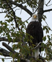 Bald Eagle on the Chilkat River. Photograph, Ann Fisher.