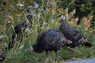 Wild Turkeys at Sundance