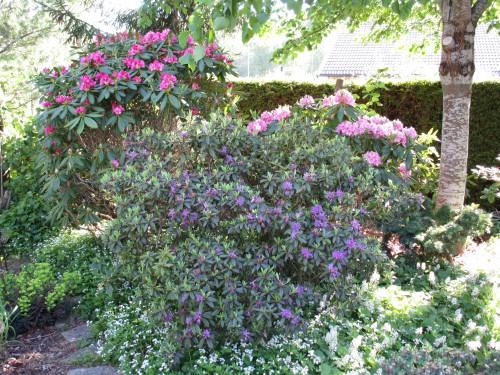 De storblommiga rododendron börjar att slå ut