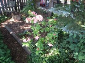 Även azaleorna visar sina blommor