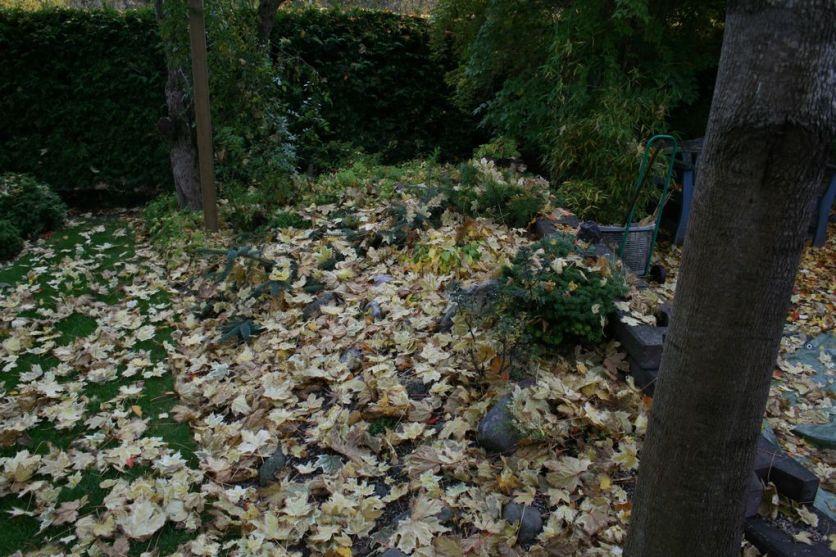 Lönnblad dekorerar på senhösten
