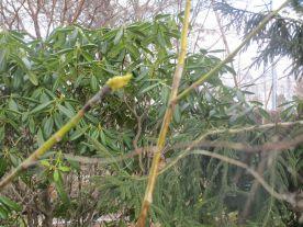 Magnoliaknopparna skakar av sig sitt hälje