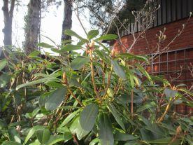Rododendronknoppar