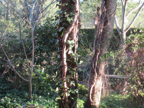 Gamla torkade grenar av murgröna och ny på väg