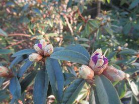 Nu kommer blommor på fler vårrododendron