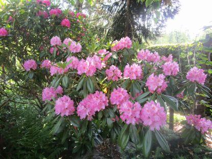 Rhododendron 'Haaga