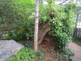 Håller på att ta bort en del barrträd och här syns nu en gammal pilstubbe som håller upp en klätterhortensia