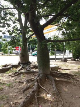 Ceiba speciosa - kapockträd