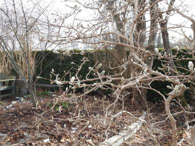 Magnoliaknoppar